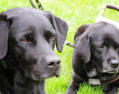 Blindenführhunde