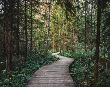 Ein breiter Weg aus Holzplanken für durch einen dichten Nadelwald.